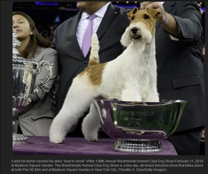 Sky, the 5-year-old wire fox terrier at The 138th Westminster Kennel Club Dog Show